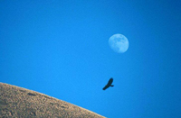 Photo of a Golden eagle and the moon.